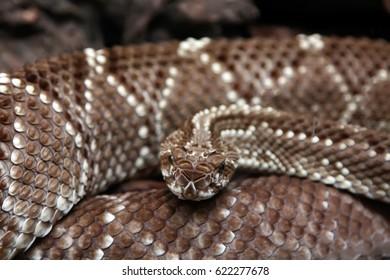 terrifying rattlesnake coiled
