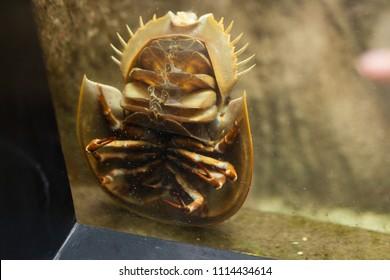Terrifying Sea Beast: Bathynomus giganteus or Giant isopod Horseshoe crabs are marine arthropods of the family Limulidae, suborder Xiphosurida