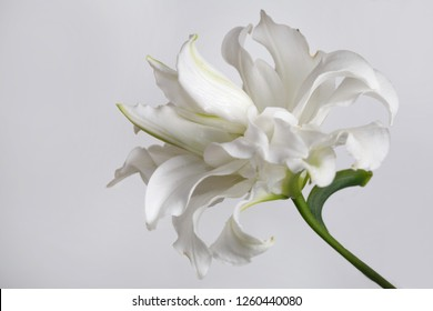Terry white lily flower isolated on gray background.