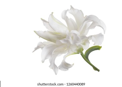 Terry white lily flower isolated.