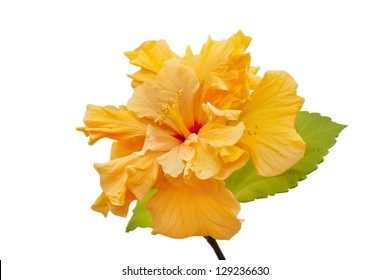 terry yellow hibiscus closeup isolated on white background