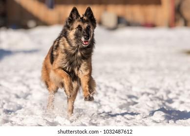 Tervueren - Dog running in the snow in winter - Belgian Shepherd