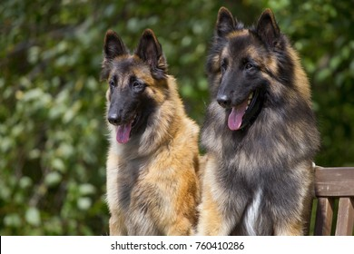 Tervuren dogs couple  sits on a bench outdoors