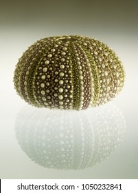 Test (hard shell) of a green and regular sea urchin (Echinoidea) and reflection over a gradient background. Plates of ball and sockets joints for spines and plates of ambulacral groves are visible.