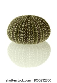 Test (hard shell) of a green sea urchin (Echinoidea) and reflection isolated over a white background. Plates of ball and sockets joints for spines and plates of ambulacral groves are visible.