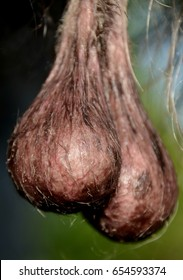 Testicles of elder male dog.