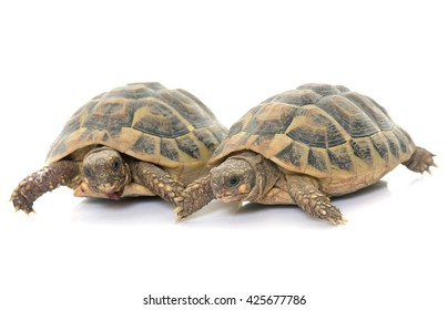 Testudo hermanni tortoise on a white isolated background
