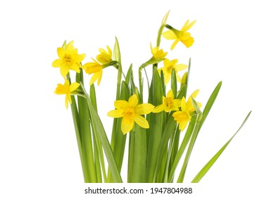 Tete a tete narcissus flowers and foliage isolated against white