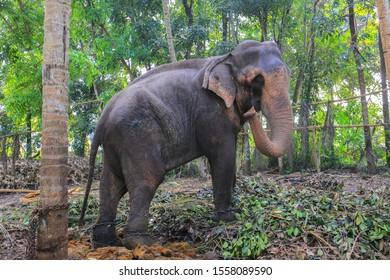 Tethered elephant in Sri Lanka