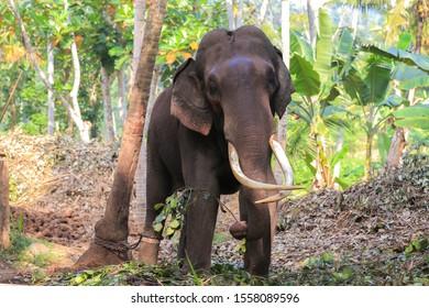 Tethered elephant wit big tusks