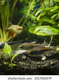 Tetra congolese in an aquarium with fish.