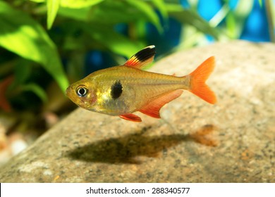 Tetra fish