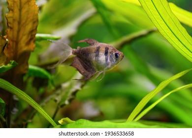 Tetra fish in an aquarium on a green background (Gymnocorymbus ternetzi)