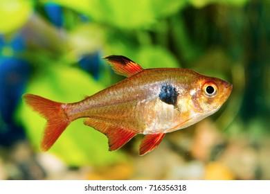 Tetra fish (Hyphessobrycon) in a nice aquarium