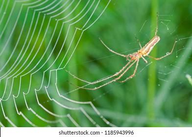 Tetragnatha montana (silver stretch spider)