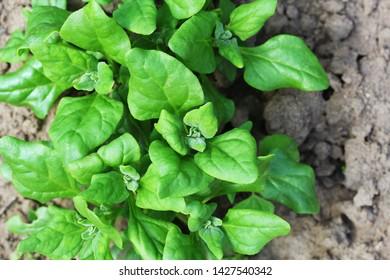 Tetragonia tetragonioides, New Zealand spinach growing in garden .