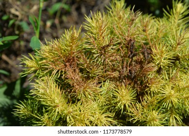Tetranychus urticae (common names include red spider mite and two-spotted spider mite) on Picea glauca var. albertiana Conica Rainbow's End. Red spider mite.
