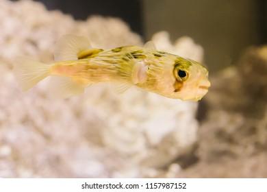 A Tetraodontidae fish it is also called pufferfish, puffers, balloonfish, blowfish, blowies, bubblefish, globefish, swellfish, toadfish, toadies, honey toads, sugar toads, and sea squab.