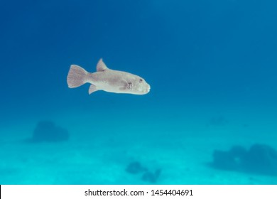 Tetraodontidae or pufferfish, puffers, balloonfish, blowfish, blowies, bubblefish, globefish, swellfish, toadfish, toadies, honey toads, sugar toads, sea squab. Underwater photo of fuga fish