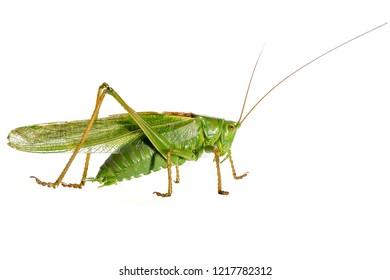 Tettigonia viridissima, the great green bush-cricket, is a large species of katydid or bush-cricket belonging to the family Tettigoniidae, subfamily Tettigoniinae