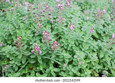 Teucrium chamaedrys, the wall germander, is a species of ornamental plant native Europe and North Africa, and to the Middle East. It was used as a medicinal herb for the treatment of gout