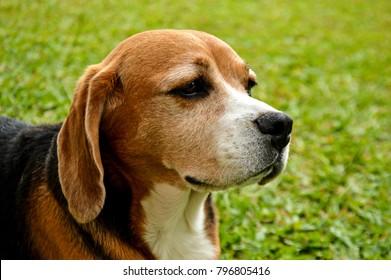 Teutonia, Brazil - December 4, 2016: Beagle dog chilling in its backyard.