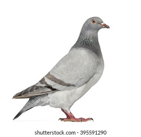Texan Pioneer Pigeon isolated on white