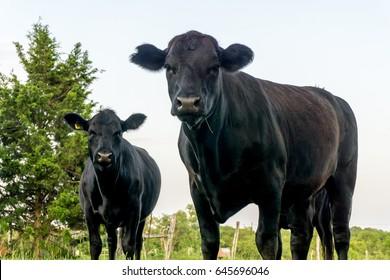 Texas Black Angus