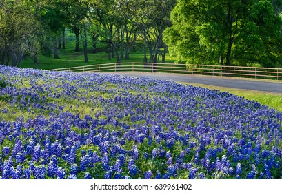 Texas bluebonnet field along country road in early morning light