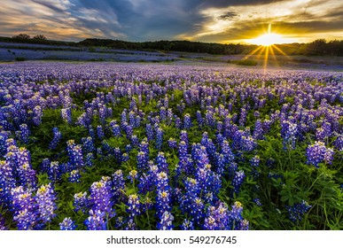Texas bluebonnet field at sunset in Muleshoe Bend Recreation Area, Austin