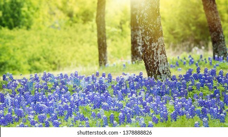 Texas bluebonnet flowers blooming under the trees on the meadow in spring.