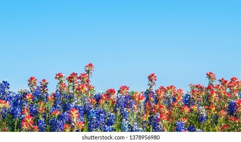 Texas bluebonnet and Indian Paintbrush wildflowers blooming on the meadow in spring. Bright, blue sky background.