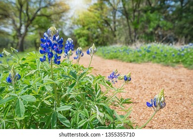 Texas Bluebonnet (Lupinus texensis) flowers blooming along a trail on a sunny, spring day.