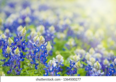 Texas Bluebonnet (Lupinus texensis) flowers blooming in springtime. Cppy space.