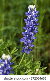 Texas Bluebonnet - the state flower of Texas