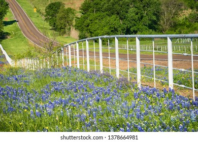 Texas Bluebonnet wildflowers along the side of the rolling road with white fence in the spring
