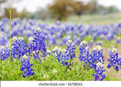 Texas Bluebonnet wildflowers, deep focus with area at top for text