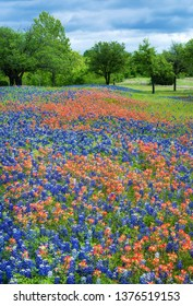 Texas Bluebonnets and Indian Paintbrush flowers blooming in the spring.