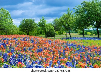 Texas Bluebonnets and Indian Paintbrush wildflowers blooming in the spring. Trees and blue sky background.