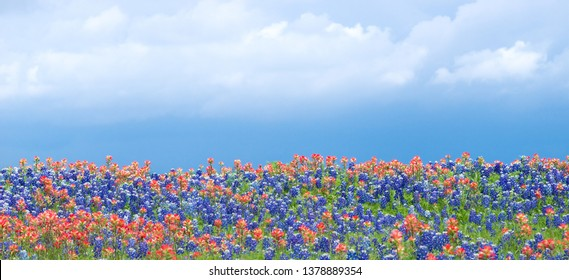 Texas bluebonnets and Indian Paintbrush wildflowers blooming on the meadow in spring. Blue sky and white clouds background.