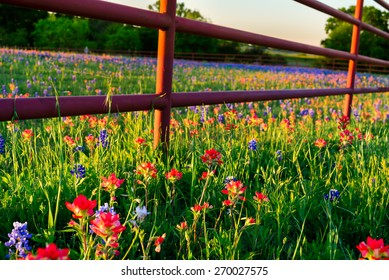 Texas bluebonnets and Indian paintbrushes bathed in late afternoon light