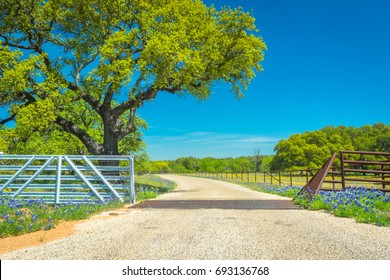 Texas Bluebonnets line a roadway leading through a metal gate and fence with a cattleguard on a dirt, county road in Llano Texas on Willow City Loop during the spring.