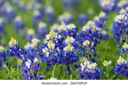 Texas bluebonnets (Lupinus texensis) blooming on the meadow