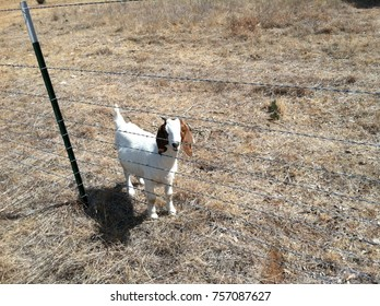 Texas brown and white goat