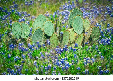 Texas cactus surrounded by blue bonnets Spring time blooms with color as the Bluebonnets begin to bloom in Central Texas