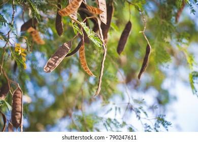Texas ebony tree close up