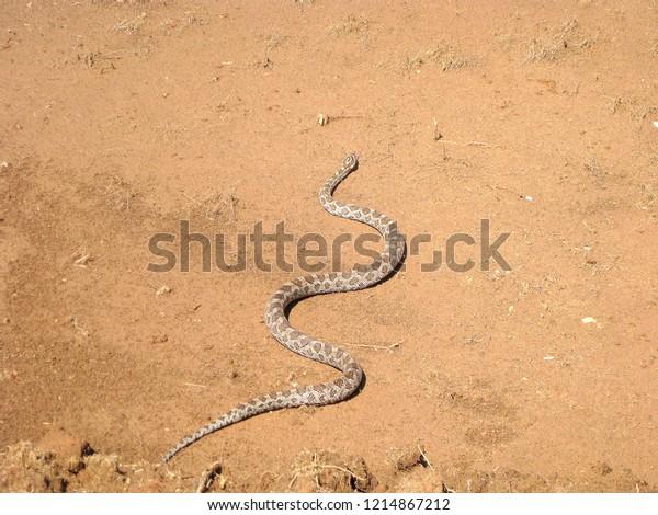 Texas Great Plains Rat Snake, Pantherophis emoryi