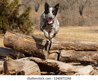 Texas Heeler dog leaping over a pile of logs towards the viewer