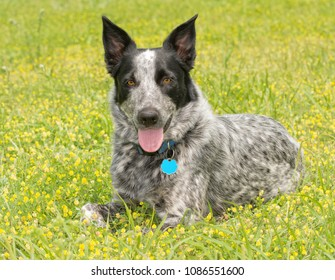 Texas Heeler dog resting in bright yellow clover on a sunny spring day, looking at the viewer
