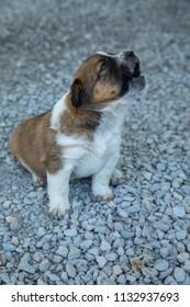 Texas Heeler Pups